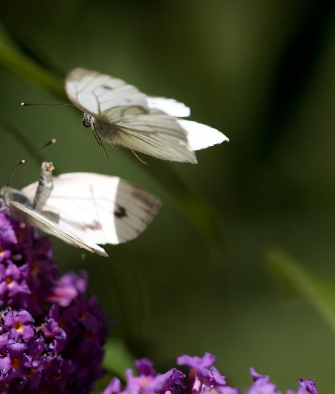 Vlinders paren