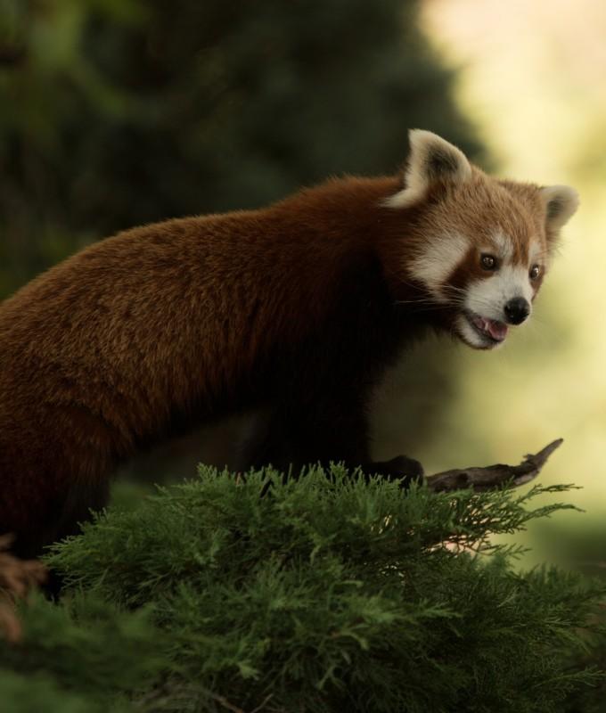 Rode panda